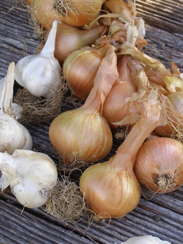 Garlic and Shallots, get planting