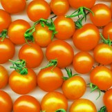 Golden Nugget cherry tomato, orgainc heirloom plants for sale, nz