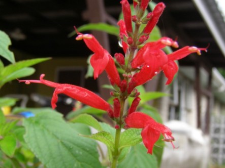 pineapple sage, salvia gracilistyla