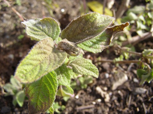 Frost burnt pineapple sage (salvia elegans)