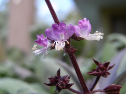 Thai basil flowers