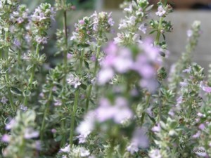 Lemon Thyme, Thymus x citriodorus aureus (green and gold), plant for sale, nz