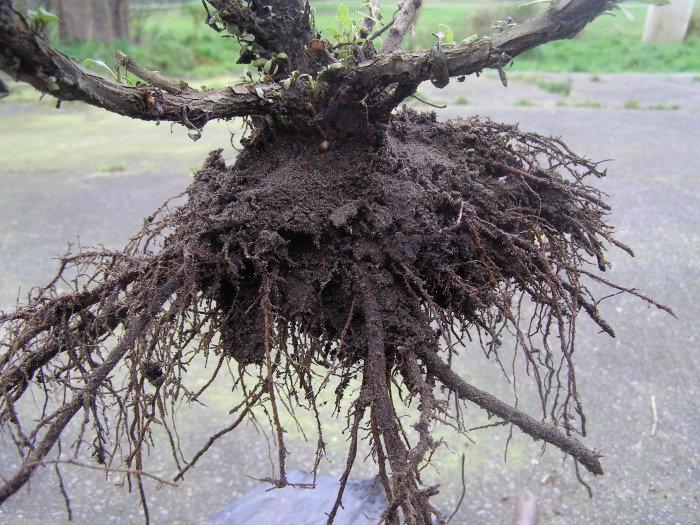 White sage (salvia apiana) root structure