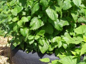 Lemon balm, Melissa officinalis
