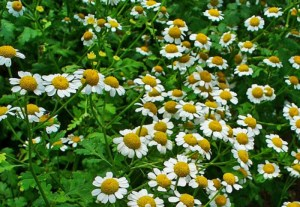 Feverfew ~ Chrysantheum parthenium or Tanacetum parthenium, plants for sale, nz