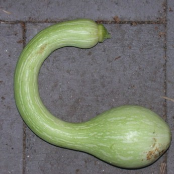 zucchini rampicante, organic plants for sale, nz