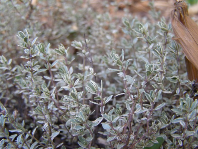 Thymus vulgaris 'Silver Posie 'for sale, New Zealand