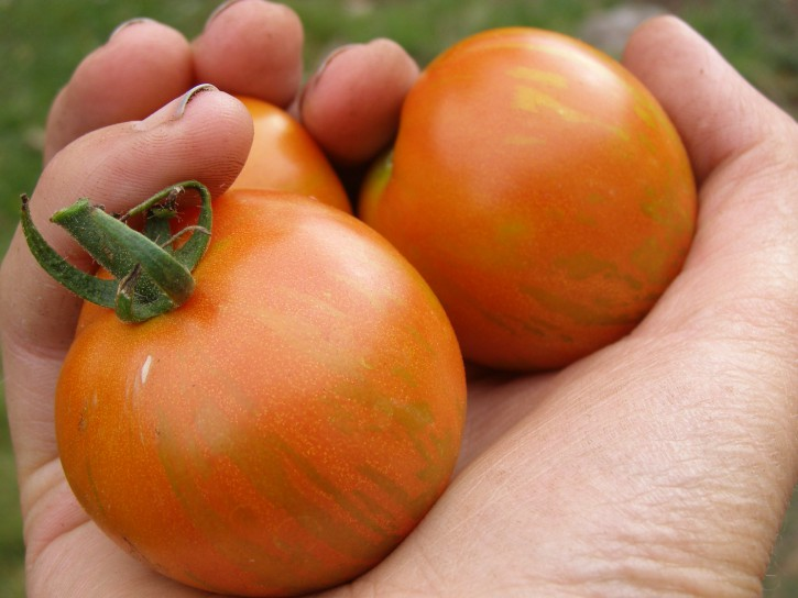 Tigerella tomatoes