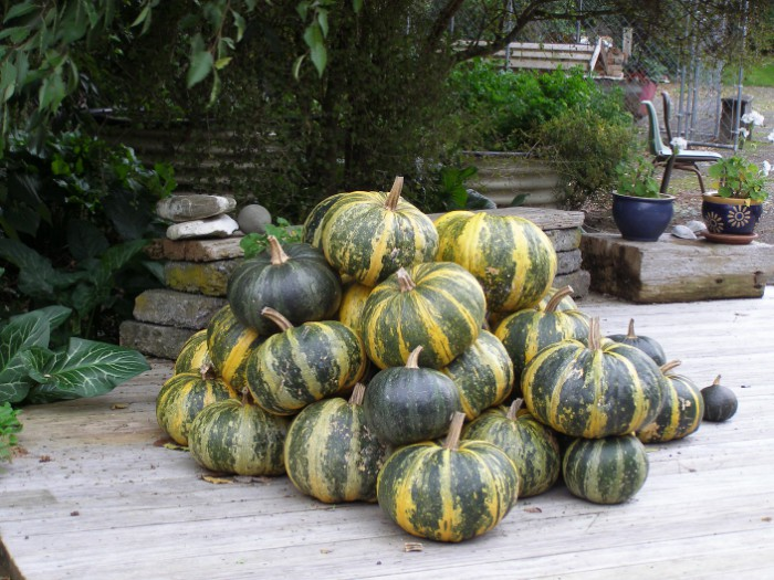 Their crop of Austrian Hulless pumpkins