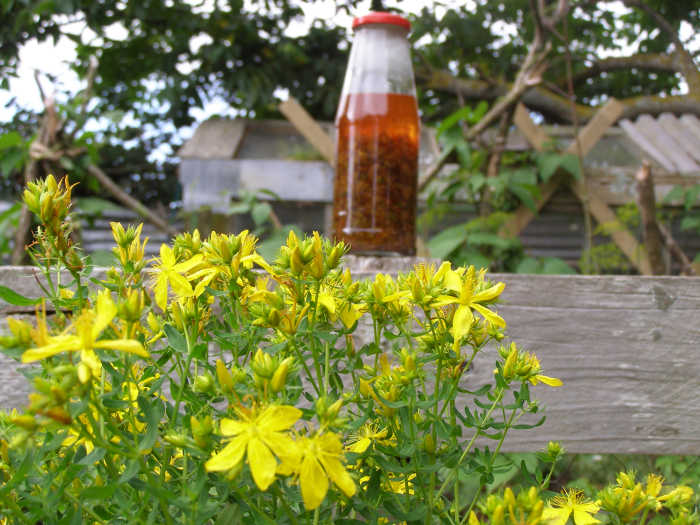 St Johns Wort and it's fabulous oil that keeps getting redder and redder