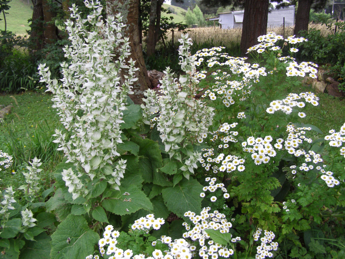 Clary sage with Feverfew underneth a plum tree