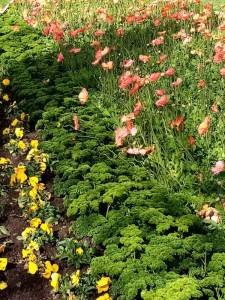 A swathe of poppies that bees would love