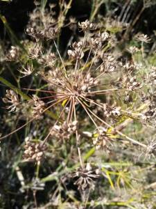 Wild fennel seed heads ripe for the picking.