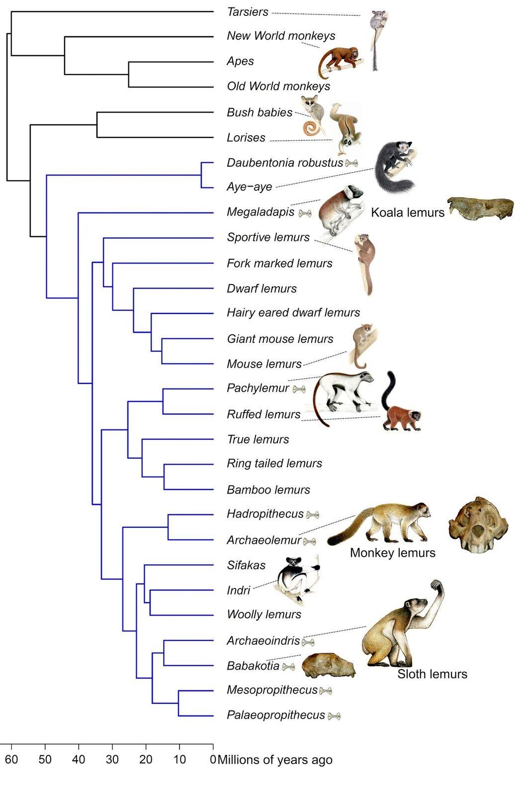 Lemur Family Tree Shake Up Extinct And Living Lemurs In