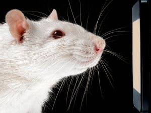 RatCancerGettyImages1174521914-1464366180732