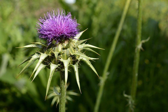 What's The Best Milk Thistle Supplement For Dogs? Your Ultimate Guide 2