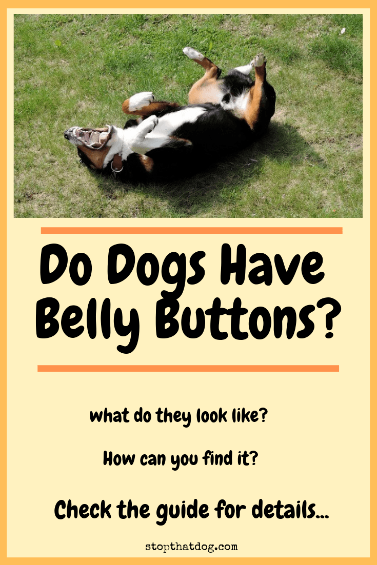 Are you curious to learn whether dogs have belly buttons? What do they look like? How can you find it? Our guide reveals everything you need to know.