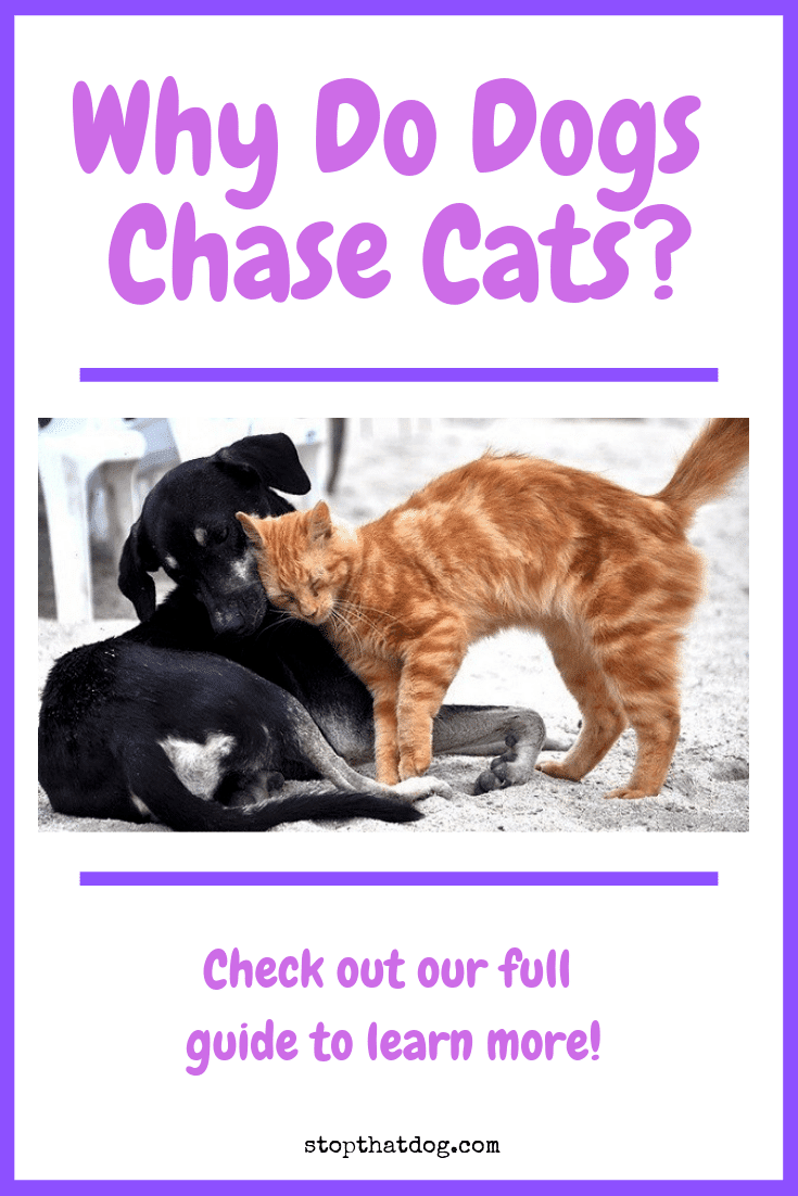 Wondering why dogs chase cats? Our guide sheds some light on the question and reveals the key theories and behaviors that lead to cat chasing behavior.