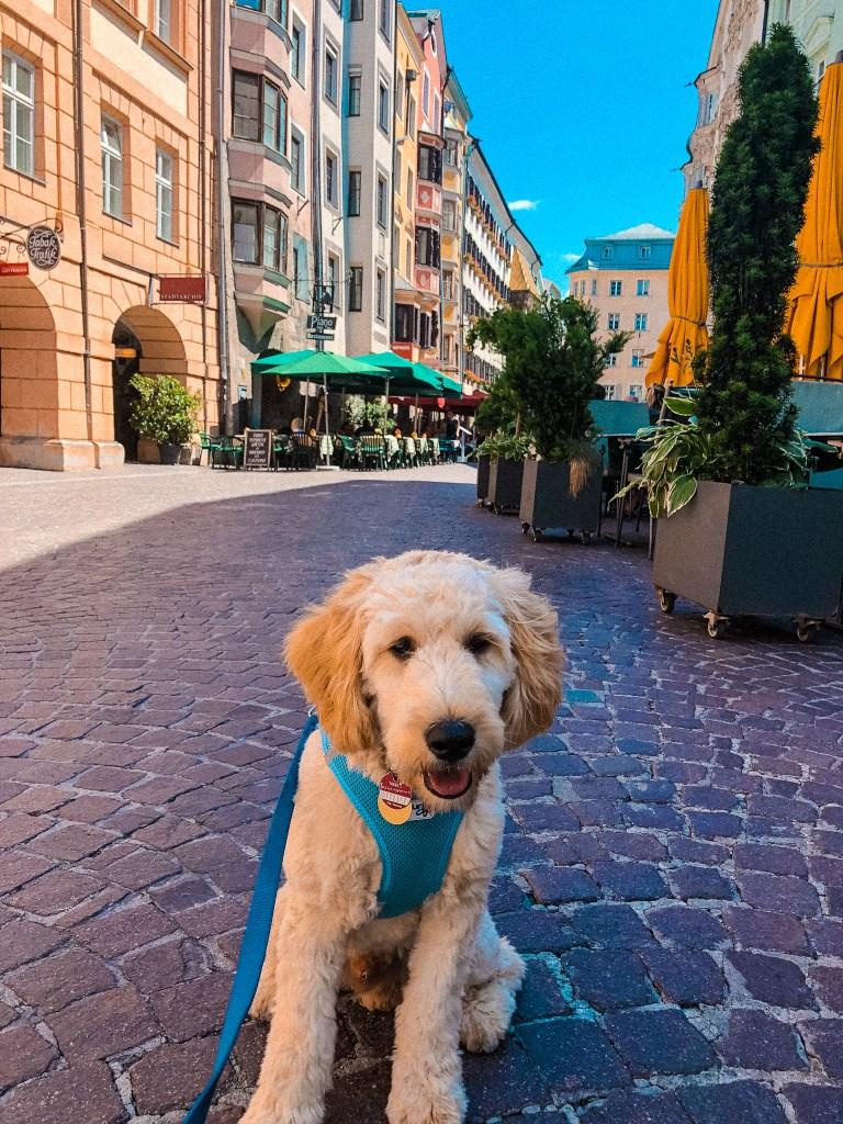 Sammy Goldendoodle in Innsbruck