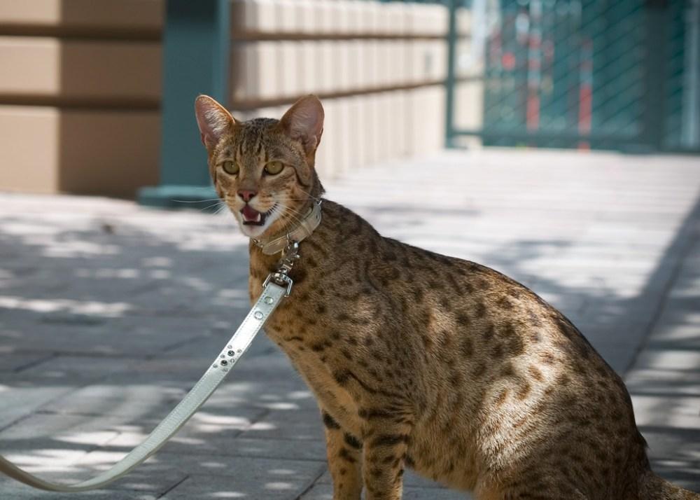 ashera-cat