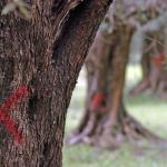 Una croce di colore rosso tracciata su alcuni ulivi infettati