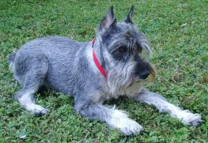 Tubby is a schnauzer