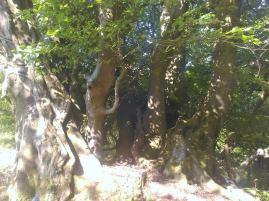 Doward's Hard oak