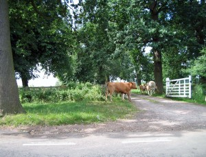 Cows standing at the gate into a field
