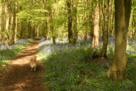 Molly in the Bluebells