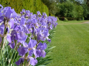 Irises at Edgecote