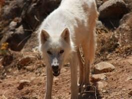 Wolf im Lobopark von Antequera