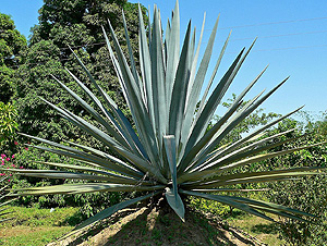 Agave syrup, which must not be used on a low FODMAP diet