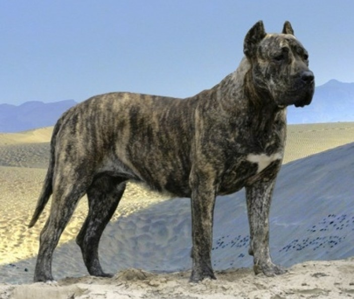 most-dangerous-dogs-presa-canario