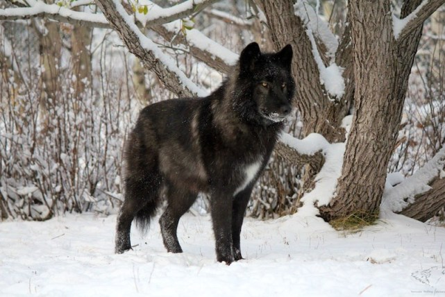 wolfdog-most-dangerous-top-10-dogs