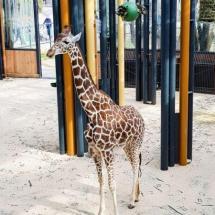dunaj_zoo_zirafa
