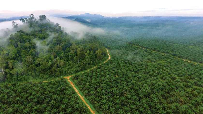 Oil palm plantation in Indonesia