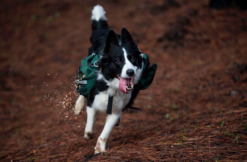 A trained dog scatters tree seeds in a forest in Chile that was devastated by fire in 2017.