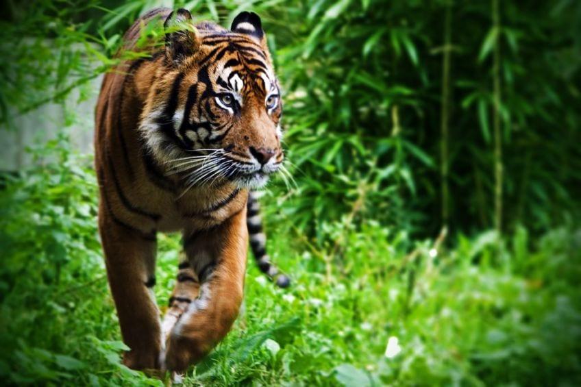 8793027 - hunting tiger at the zoo