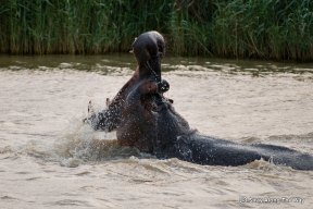 The iSimangaliso Wetland Park is home to the highest density of hippos in South Africa
