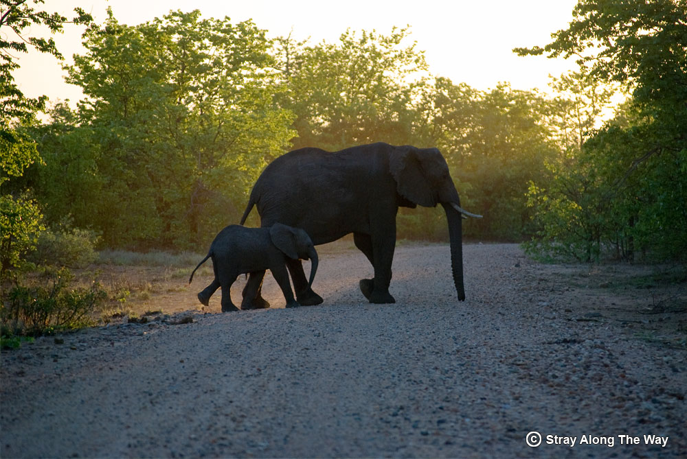 Elephant mother and calf in the Kruger National Park