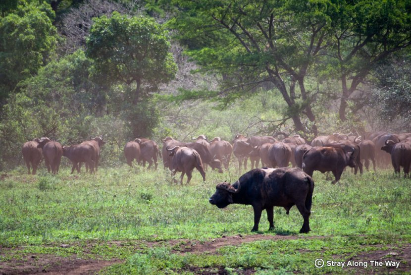 A herd of buffalo make their way to the river in Hluhluwe