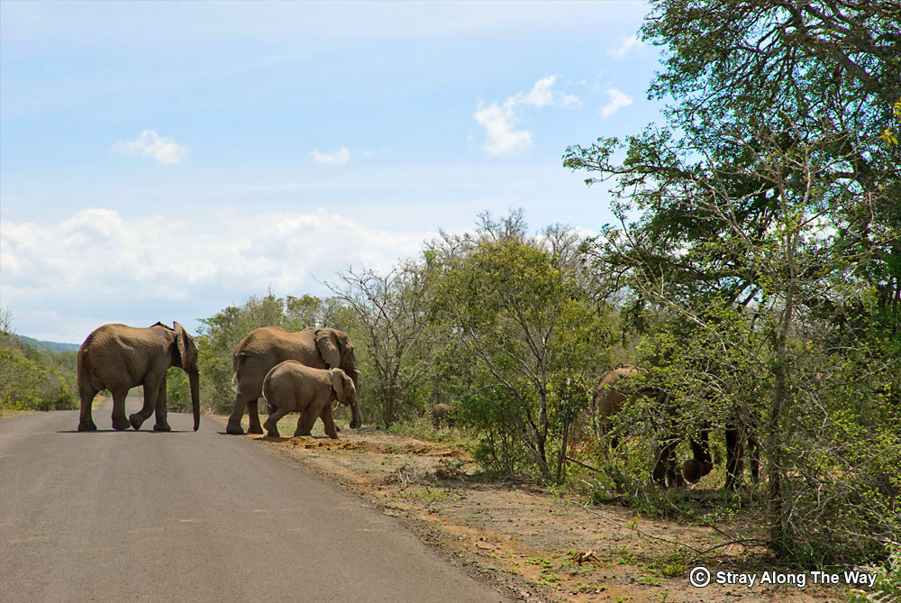 Elephants crossing the road are always a treat to spot.