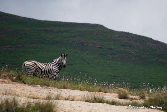 Burchells Zebra in the Golden Gate National Park