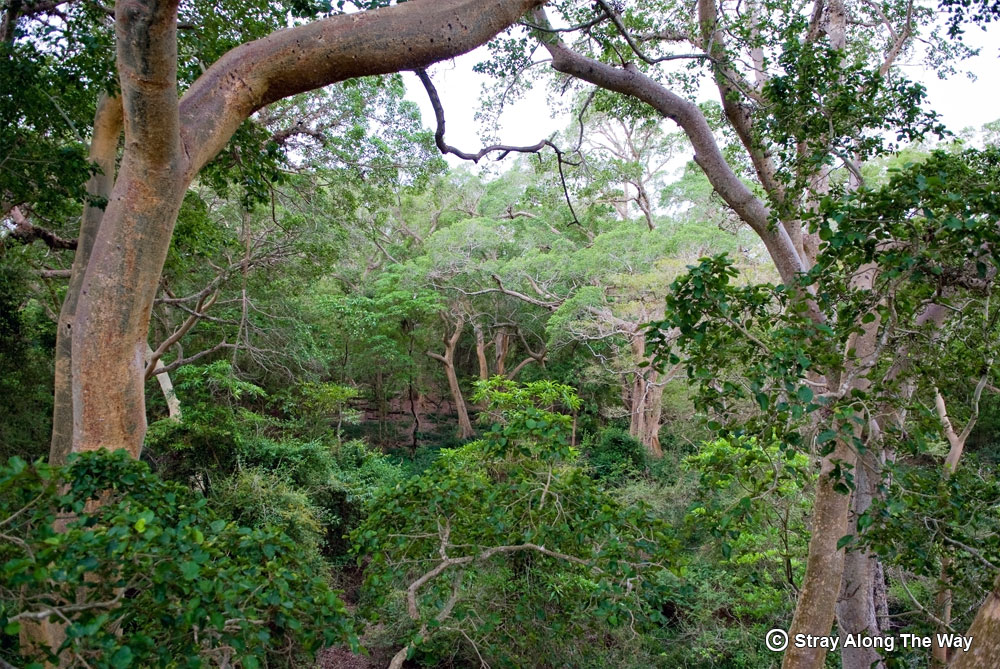The Mkhuze Sycamore Fig Forest from the canopy boardwalk.