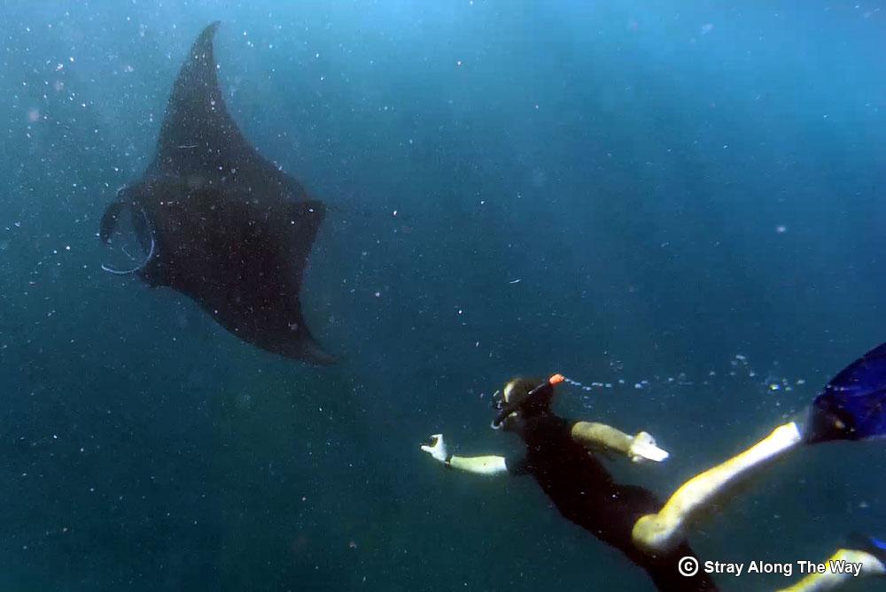 Bevan swimming with manta rays at Nusa Penida