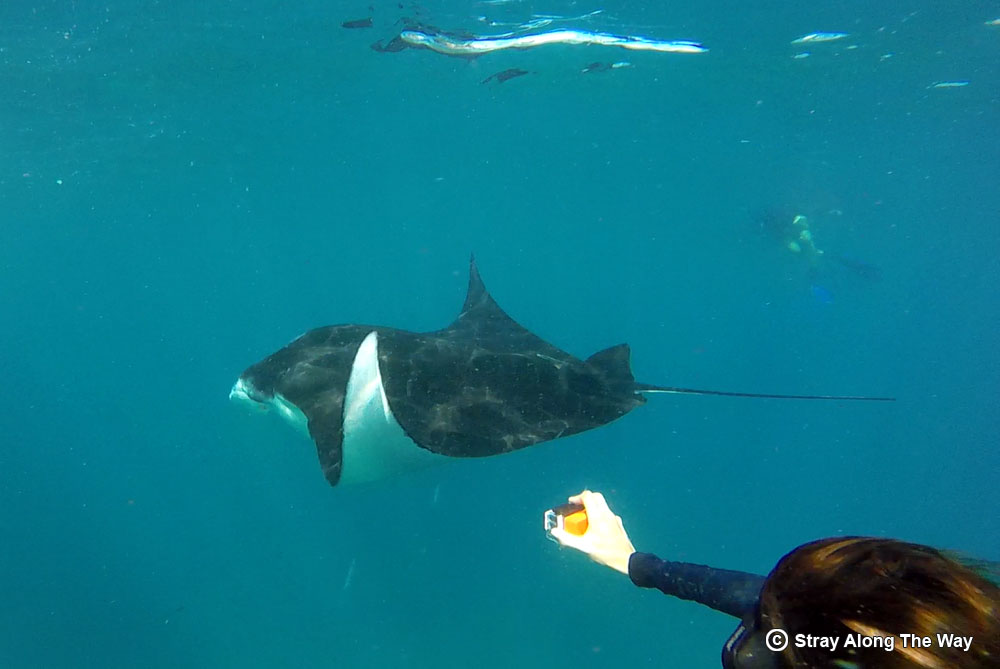 Jill swimming with manta rays in indonesia