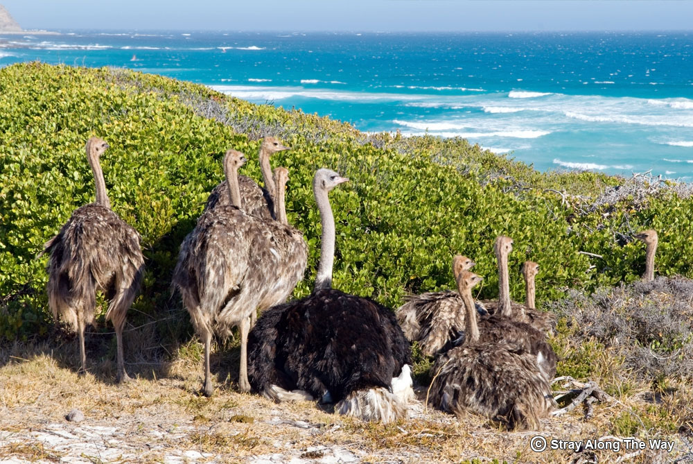 ostriches cape point nature reserve