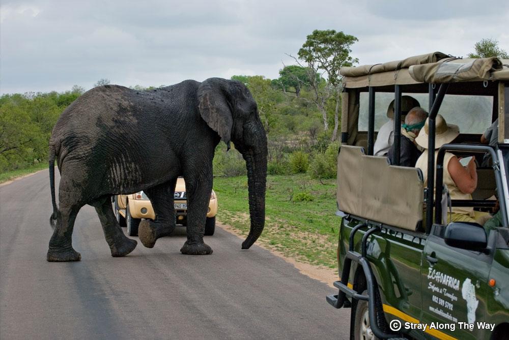 elephant road crossing kruger national park