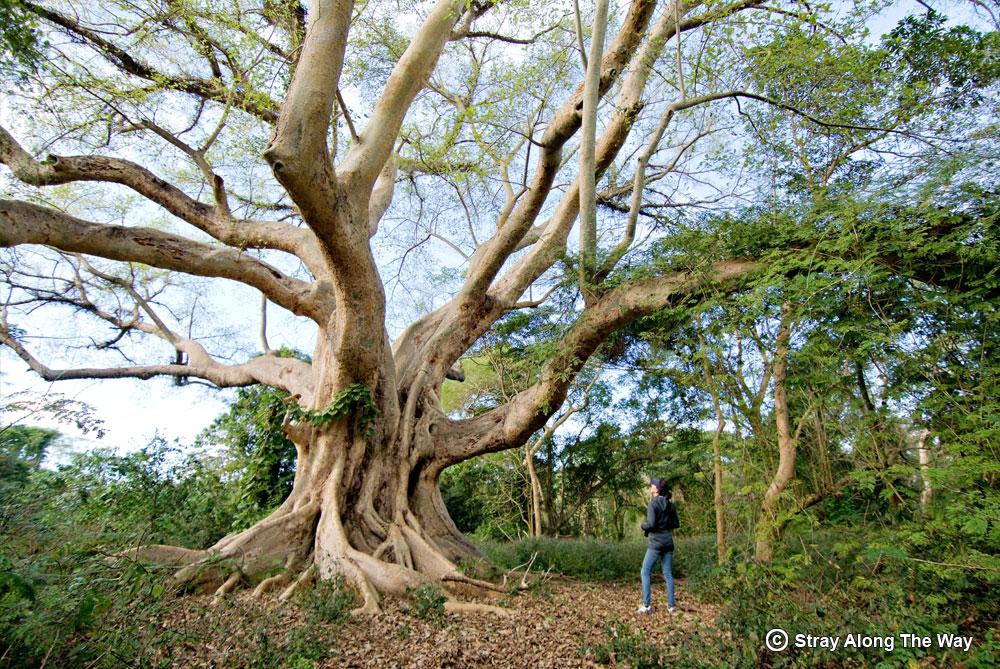 jill sycamore fig tree mkhuze