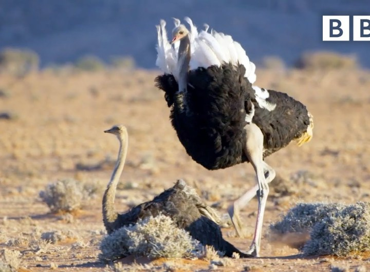 Randy ostrich looking for a mate has MOVES | The Mating Game – BBC